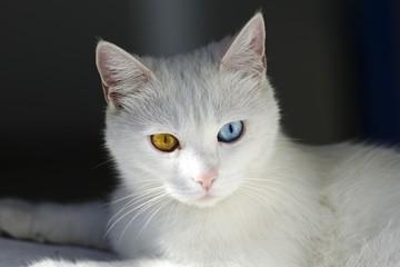 Sicily, Cat with different coloured eyes, Stromboli Island, Lipari Islands, Sicily, Italy, Europe *** IMPORTANT: Sicily, ***