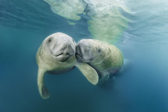 Two West Indian manatees in river