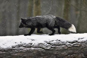 Silver fox, dark-black, colour variation of the Red fox (Vulpes vulpes), runs over a tree trunk in snowfall, captive, Czech Republic, Europe