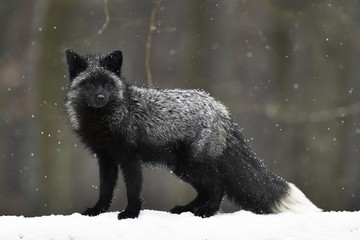 Silver fox, dark-black, colour variation of the Red fox (Vulpes vulpes), in snowfall, captive, Czech Republic, Europe
