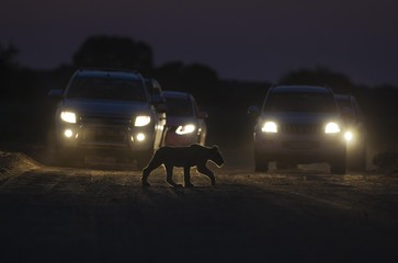 Lion (Panthera leo), cub crosses a road at night, cars behind for morning game drive, Kalahari Desert, Kgalagadi Transfrontier Park, South Africa, Africa