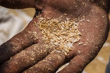 Indian holding threshed rice grains, Uttamapalaiyam, Tamil Nadu, India, Asia