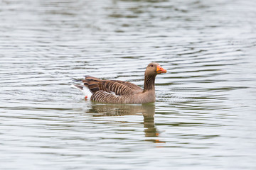 close side view swimming gray goose (anser anser)