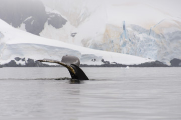 Humpback whale fluke in Antarctic sea