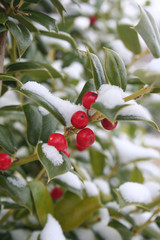 Holly bush with red berries covered by snow in winter season. Ilex aquifolium