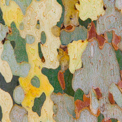 bark of platan tree. close-up