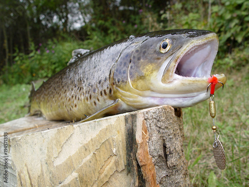 Brown trout, favorite fishing prey on the river bank, bait