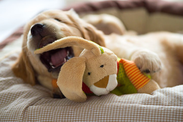 Golden Retriever puppy playing with his plush bunny in his cozy basket. Looking up.