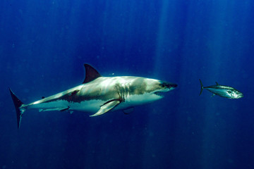 Great White shark attacks tuna blood in water