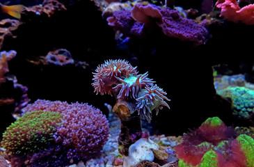 Duncan LPS coral in aquarium