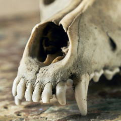 Front part of a canine scull without lower jaw close up