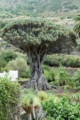 .....Alter Drachenbaum, Spanien, Teneriffa, berühmt, Denkmal..
