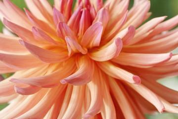 orange Dahlia in the garden