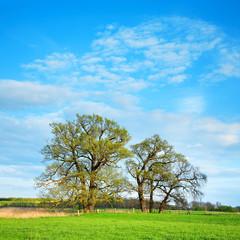 Fototapete - Grüne Wiese mit alten Eichen unter blauem Himmel im Frühling