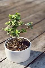 Bonsai tree in little white pot plant