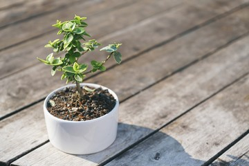 Bonsai tree in little white pot plant with wooden table texture background