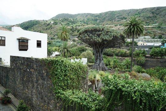 .......Alter Drachenbaum, Spanien, Teneriffa, berühmt, Denkmal