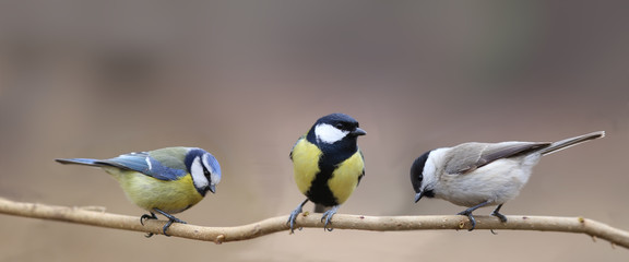 Aluminium Prints Bird Three species of tits, three small birds on one thin branch