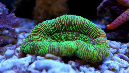 LPS coral in reef aquarium tank