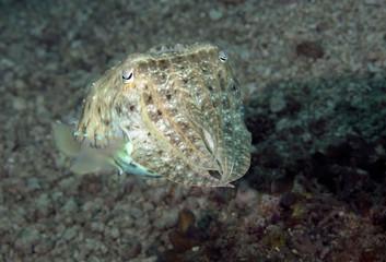Cuttlefish near Sipadan Island, Malaysia