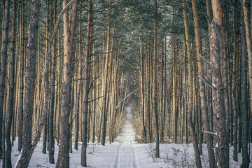 trail in beautiful winter forest with tall trees