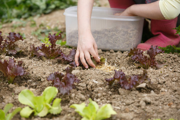 Little girl working in the garden, putting mulch among salad seedlings, gardening. Education for life, home fun, natural childhood, outdoor living and simple life concept.