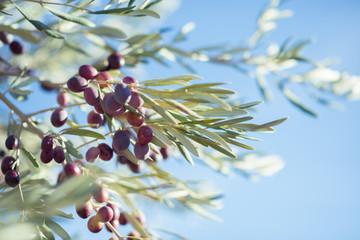 Spanish olive grove, branch detail. Raw ripe fresh olives growing in mediterranean garden ready to harvest.
