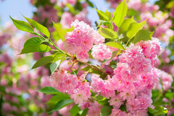 Sakura, cherry blossom, cherry tree with flowers. Oriental cherry blooming