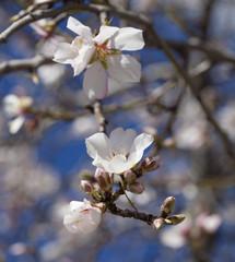 flowering almonds backgound