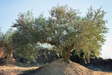 Spanish olive grove. Olive's tree is growing in mediterranean garden ready to harvest, soft focus, image toned.