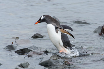 Gentoo penguin going in water