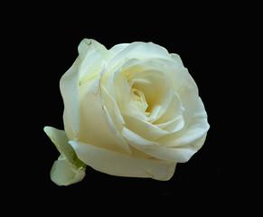 Roses, macro, white, on black background