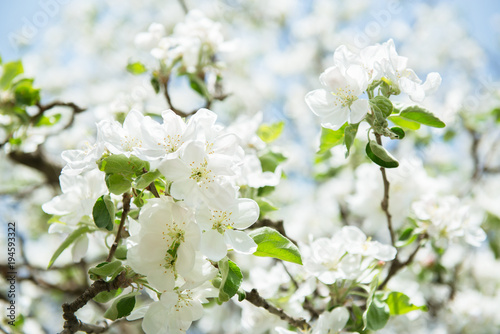 Apple blossoms blooming apple tree branch with large white flowers blooming apple tree branch with large white flowers flowering spring mightylinksfo