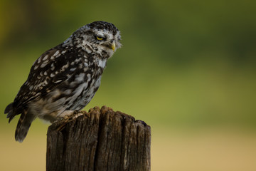 Frowning wild Little Owl