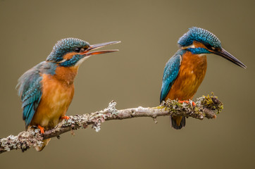 Fototapete - Kingfisher Pair perched