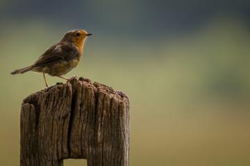 Fotoväggar - Perched adult Robin