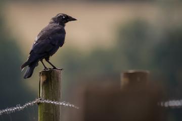 Fotoväggar - Jackdaw perched on a stump