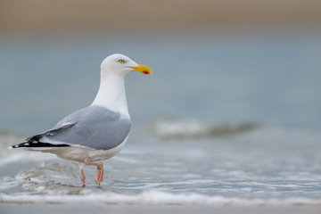European Herring Gull (Larus argentatus) wading in the sea.