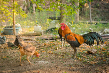 gamecock or fighting cock in  Thailand