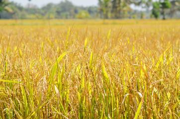 South Indian paddy field landscape, Paddy field of Kerala