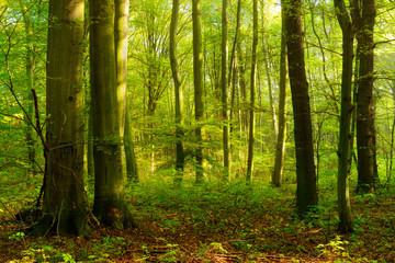 Laubwald im Sommer, stimmungsvolles warmes Morgenlicht