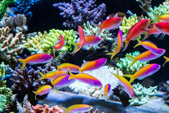 Schooling of anthais such as carberryi anthias, resplendent anthias, evansi anthias in Short stony polyp reef tank