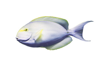 Wall Mural - Surgeon fish on white isolated background with clipping path