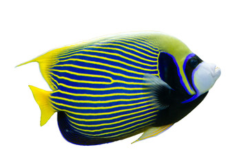 Emperor Angelfish (Pomacanthus imperator) on white isolated background with clipping path