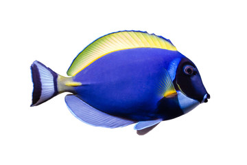 Wall Mural - Marine fish on white isolated background with clipping path. Powder Blue Tang (Acanthurus leucosternon)