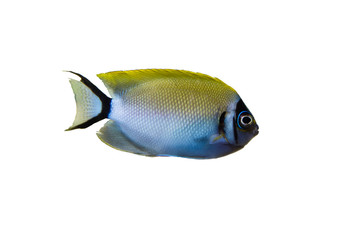 Wall Mural - Marine fish on white isolated background with clipping path. Japanese Swallowtail Angelfish (Genicanthus semifasciatus) female
