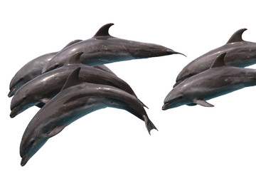 Pod of Bottlenose dolphins Jumping to sky on white isolated background