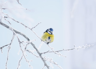 little bird tit sitting on a branch covered with cold snow flakes and frost crystals in a bright white winter garden
