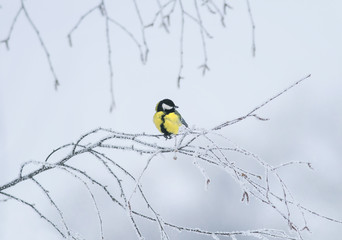 cute little bird tit sitting on a branch covered with cold snow flakes and frost crystals in a bright white winter garden
