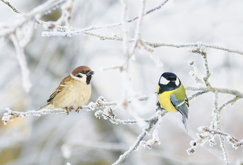 pair of funny curious little bird tit and Sparrow sit among the branches covered with cold snow flakes and frost crystals in a bright white winter Park